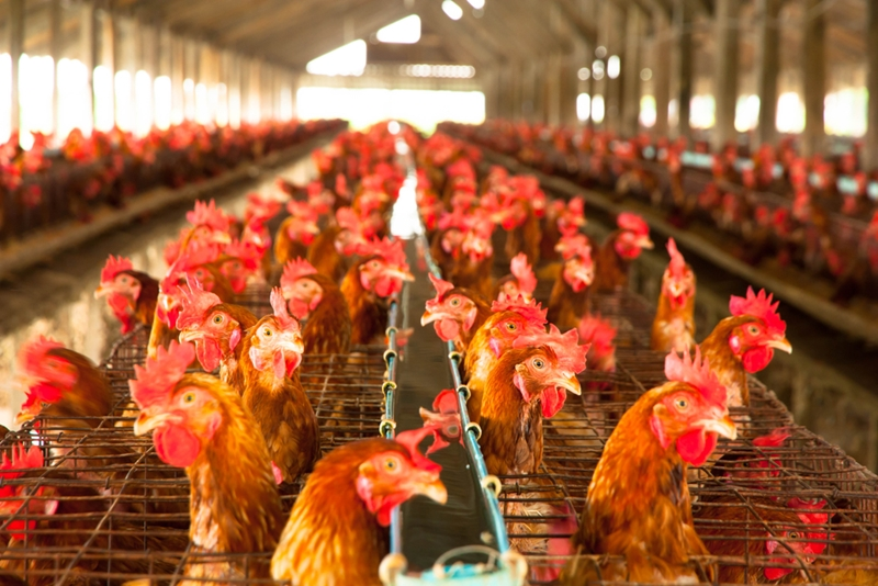 Avian flu can travel quickly through flocks.